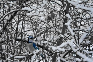 Bluebird on Snowy Branches